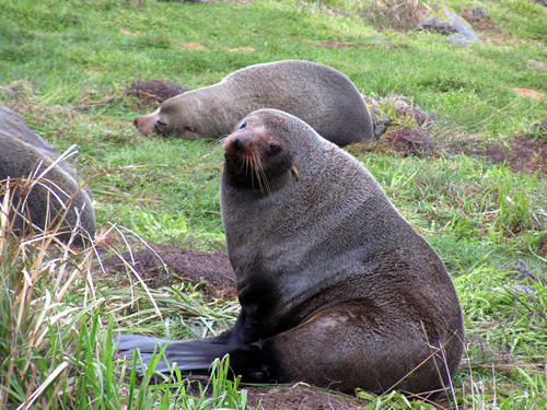 Cape Palliser seals