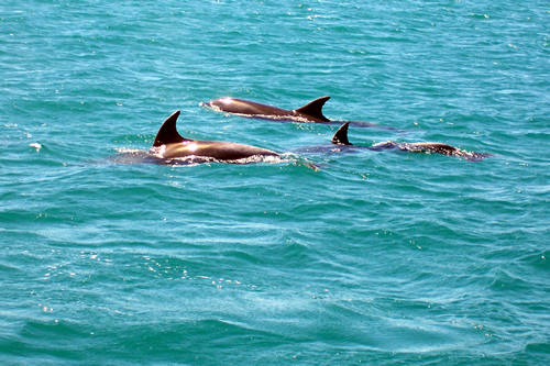 Dolphins, Bay of Islands