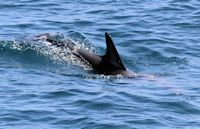 Dolphin Watching, Dolphin Seafaris, Tauranga,  Bay of Plenty, NZ.