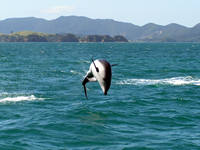 Dolphin Watch, Bay of Islands, NZ.