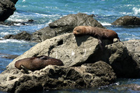 Seals, Kaikoura, New Zealand