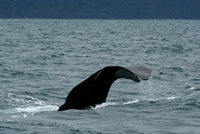 Whale Watching, Kaikoura, NZ