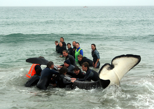Nobby the Orca rescue, Papamoa Beach, NZ.